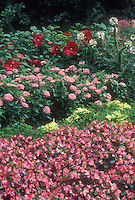 Annuals and perennials together in garden: Begonia Olympic Pink, Zinnia Fantastic Light Pink, Cleome hassleriana Rose Queen, Hibiscus,Ivy Geranium Pelargonium Balcon Imperial, Joe Pye Weed Eupatorium, pink color theme garden bed