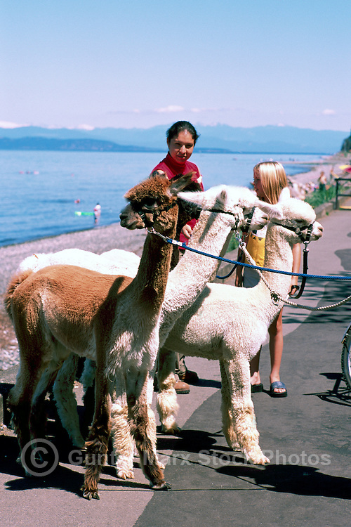 """Alpacas (Vicugna pacos) going for a Walk at Qualicum Beach, in the """"Oceanside Region"""" of Vancouver Island, British Columbia, Canada"""