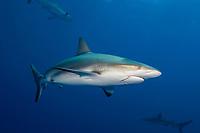 Caribbean reef shark, Carcharhinus perezii, with fishing hook and line, Bahamas, Caribbean, Atlantic