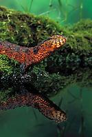 Chinese Crocodile Lizard. Male..Rare & Endangered. China..Shinisaurus crocodilurus. Captive.