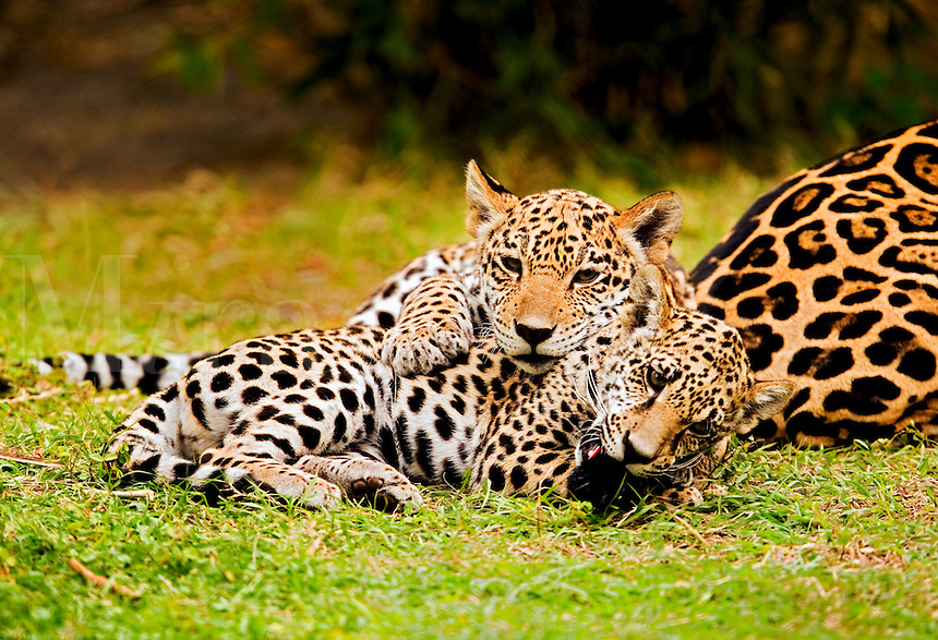 Jaguar (Panthera onca) cubs wrestle and play with tip of mother?s tail