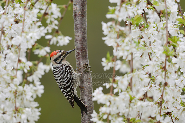 Ladder-backed Woodpecker (Picoides scalaris), adult male perched on blooming Weeping Cherry Tree (Prunus sp.), Hill Country, Central Texas, USA