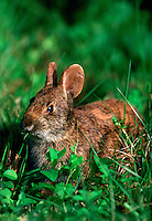 Marsh Rabbit, Everglades, Florida