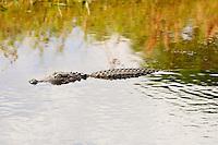 Alligator Swimming at Wakodahatchee  Wetlands, Boynton Beach, Florida.