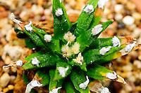 Aloe dumetorum