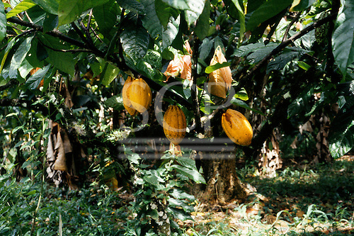 Bahia, Brazil. Cacau pods, which enclose the cocoa beans from which chocolate is made, growing on a branch. CEPLAC, Ilheus.