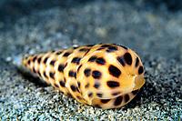 Augur shell, Terebra robusta, Cocos Island, Costa Rica, Pacific Ocean