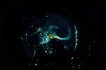 Larvacean, Pelagic Tunicate, Appendicularia