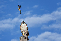 Western Kingbird dives at Red-tailed Hawk, West Texas roadside