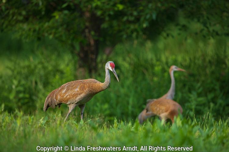 Sandhill crane family in northern Wisconsin.