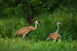 Sandhill crane family in northern Wisconsin.