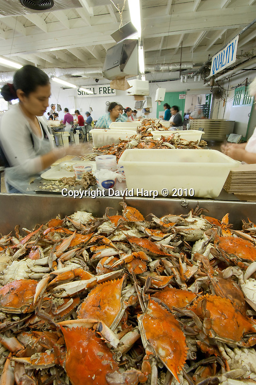 Crab processing at J.M. Claytons Seafood, Cambridge, MD