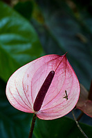Reddish-pink anthurium at Hawaii Tropical Botanical Garden near Onomea Bay in Papa'ikou near Hilo, Big Island of Hawai'i.
