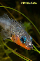 1S14-611z  Male Threespine Stickleback, Mating colors showing bright red belly and blue eyes, close-up of face, Gasterosteus aculeatus,  Hotel Lake British Columbia