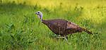 Hen wild turkey feeding in a summer field.
