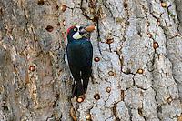 Male Acorn Woodpecker (Melanerpes formicivorus) with acorn it is storing in bark of an oak tree.  California