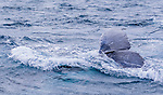 Whales Tale. Humpback Whales travelling on their southern migration back down the east coast of Australia. Seen during a cruise on Tamboi Queen, Nelson Bay, Port Stephens, NSW, Australia