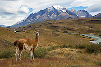Guanaco overlooking Torres del Paine, Chile, Patagonia