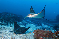 Pacific white-spotted eagle ray, Aetobatus laticeps, pair swimming, Cocos Island National Park, Costa Rica, Pacific Ocean