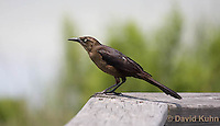 0916-0908  Juvenile Great-tailed Grackle, Quiscalus mexicanus © David Kuhn/Dwight Kuhn Photography