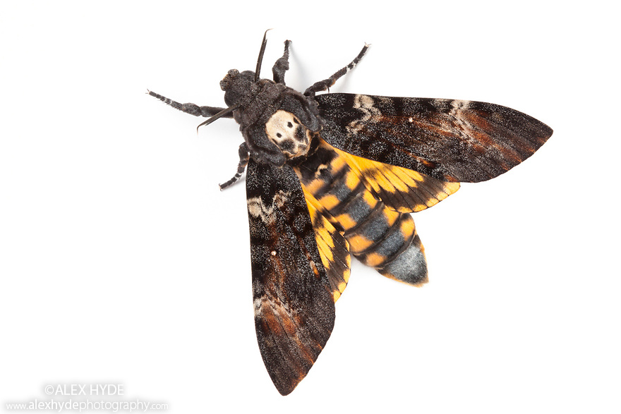 Death's head hawkmoth {Acherontia atropos} UK. Captive.