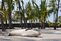 Hawaiian monk seal, Neomonachus schauinslandi( Critically Endangered ), 2.5 year old male relaxes on the beach under the palm trees, Pu'uhonua o Honaunau ( City of Refuge ) National Historical Park, Kona, Big Island, Hawaii, USA, Pacific Ocean