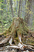 Decaying tree stump along the Hancock Branch of the old East Branch & Lincoln Railroad in Lincoln, New Hampshire USA. This was a logging railroad, which was in operation from 1893-1948.