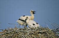 Weiss-Storch, Weissstorch, Weiß-Storch, Weißstorch, Storch, Küken, Jungvögel auf Nest, Ciconia ciconia, white stork