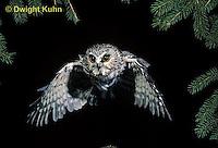 OW07-060z  Saw-whet owl - flying - Aegolius acadicus