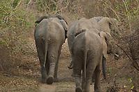 Elephants retreating in the Lower Zambezi, Zambia Africa.