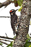 Hairy Woodpecker, Port Angeles, Washington.