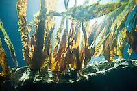Fingertang, Atlantischer Kombu, Laminaria digitata, Oarweed, Oar weed, Oar-Weed, oar kelp, oar-kelp, oarkelp, Tangwälder, Tangwald, Kelp forest