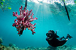Dendronephthya hanging on mangrove  with diver underwater