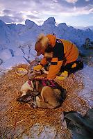 An Iditarod musher massages his sled dog at a check point. Alaska.