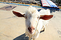 Closeup of a white goat looking at the camera at a gas station stop