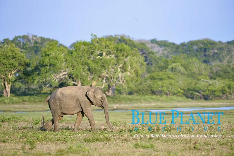 Asian Elephant (Elephas maximus maximus), adult, walking in grassland, Yala National Park, Sri Lanka, Asia