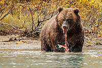 Alaskan Brown (Grizzly) Bear stripping/eating sockeye salmon on Crescent Lake in Lake Clark National Park.  Fall - Autumn.  Alaska<br /> <br /> Photo by Jeff Schultz/  (C) 2019  ALL RIGHTS RESERVED<br /> <br /> Bears Glaciers Fall Color 2019 photo tour