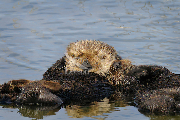 Sea Otter (Enhydra lutris) mom with pup sleeping.