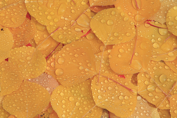 Raindrops on Aspen leaves in a pattern, Colorado. .  John offers private photo tours and workshops throughout Colorado. Year-round.