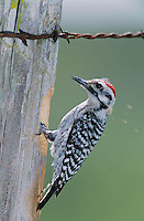 Ladder-backed Woodpecker, Picoides scalaris,male at cavity in fence post, Welder Wildlife Refuge, Sinton, Texas, USA, April 2005