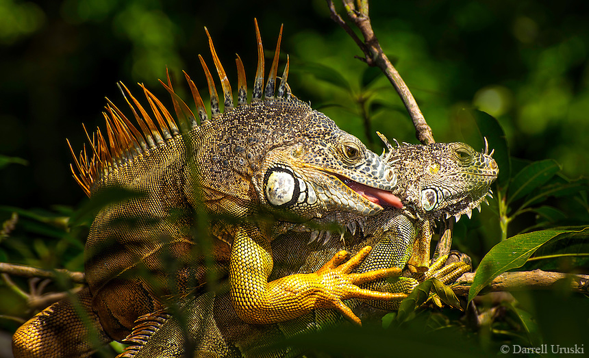 Nature Photograph of two wild Iguanas feeling very amorous in the tress. These two were photographed in Puerto Vallarta Mexico.