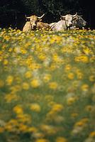 Europe/France/Limousin/23/Creuse/Env Guéret: Vaches et champ de pissenlits en fleurs