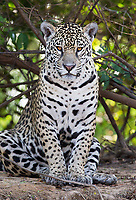 Our final jaguar of the trip was this beauty, which had orange (rather than yellow) eyes.