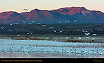 Snow Geese at Dawn, Bosque del Apache Wildlife Refuge, New Mexico
