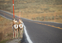 Twin pronghorn fawns wait for the school bus in the Lamar Valley. I assume.