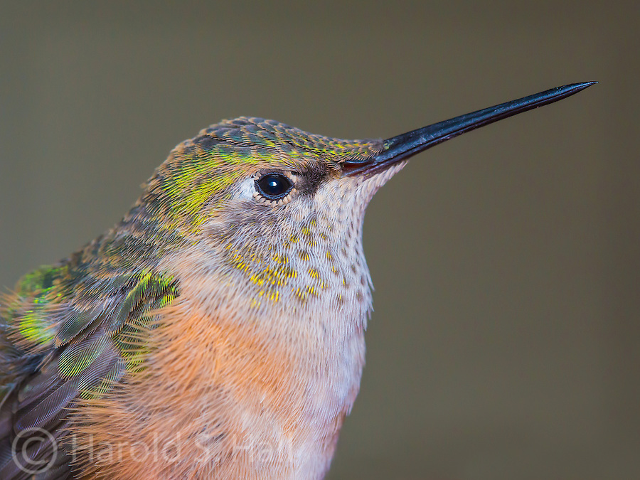 A close up of a hummingbird.