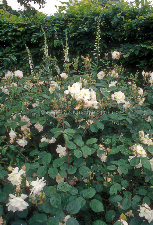 Hybrid Musk Rose Penelope and white foxglove growing together in a white color theme garden
