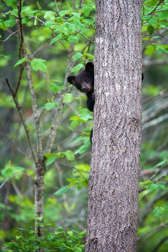 Black bear spring cub playing peek-a-boo around a tree in Minnesota, USA