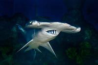scalloped hammerhead shark, Sphyrna lewini (c)