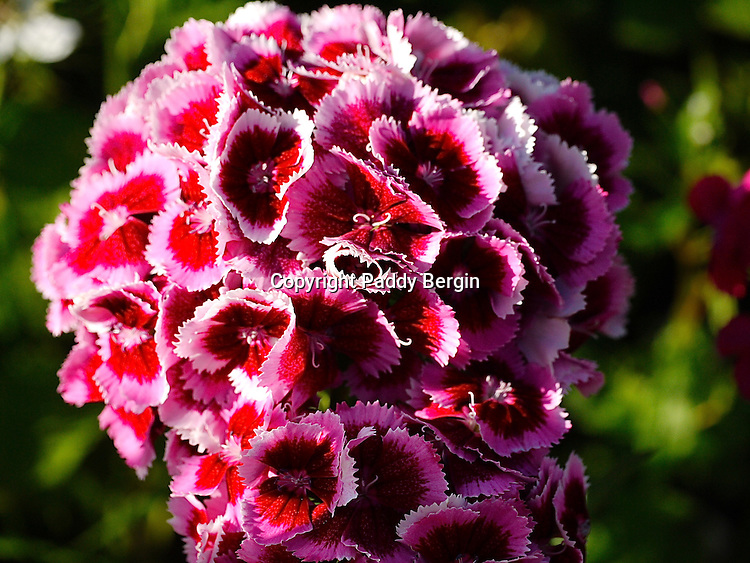 """Dianthus barbatus (Sweet William) is a herbaceous biennial. The exact origin of its English common name is unknown but first appears in 1596 in botanist John Gerard's garden catalog. The flowers are edible and may have medicinal properties. Sweet William attracts bees, birds, and butterflies.<br /> <br /> """"Sweet William"""" is often said to honour the 18th century Prince William, Duke of Cumberland. As a result of the Duke's victory at the Battle of Culloden and his generally brutal treatment of the king's enemies, it is also claimed that the Scots sometimes call the flower """"Stinking Billy"""".<br /> <br /> Stock Photo by Paddy Bergin"""